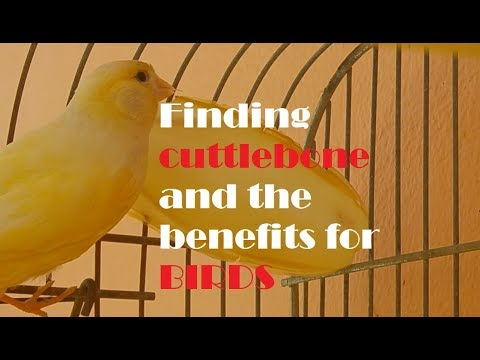 Finding And Preparing Cuttlebone For My Canary-The Great Benefits For Birds