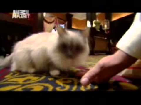 Kot rasy Ragdoll - charakterystyka wg Animal Planet, Cats101