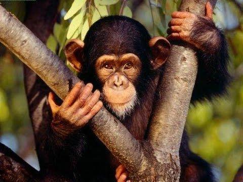 Chimpances Casi Humanos | Documental | Primates evolucionando