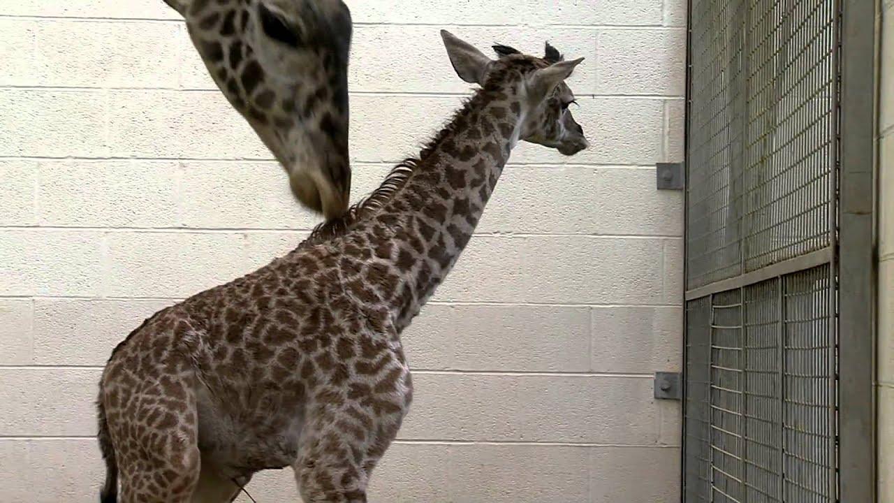 Zoo View Baby Giraffe Cincinnati Zoo Youtube