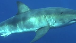 Ocearch expert says great white sharks thriving in U.S.