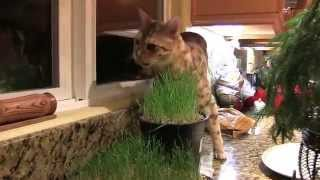 Spoiled Bengal Cat Cheeto Eating His Wheatgrass