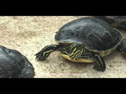 Weltmeister wir sind Weltmeister Schildkröten unter sich ...funny animals