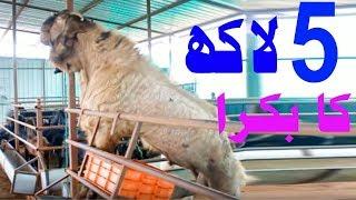 Lahore Ki Sab Se Bari Bakra Mandi 2018 Cow Mandi Lahore 2018 Rajanpuri bakra Eiduladha