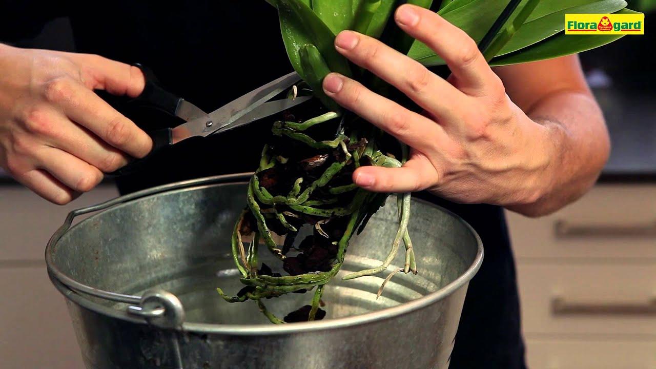 orchidee phalaenopsis einpflanzen in ein gef youtube. Black Bedroom Furniture Sets. Home Design Ideas