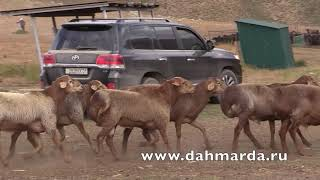 Гиссарские овцы -  отбор рыжих кучкаров хозяйства Баракат