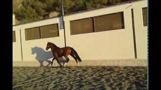 Андалузская лошадь, продана