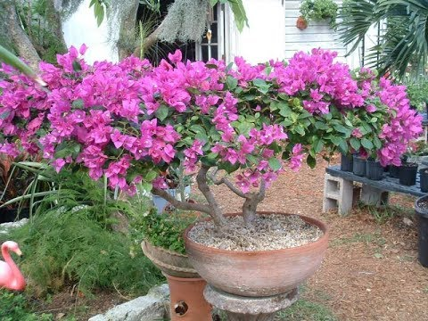 Как выглядит цветок бугенвиллия