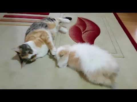 Kedi ile Oynayan Lop Tavşanı