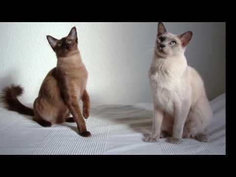 Tonkinese cat History, Personality, Health, Care
