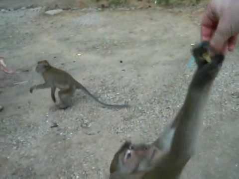 Crazy Monkey stealing Bananas