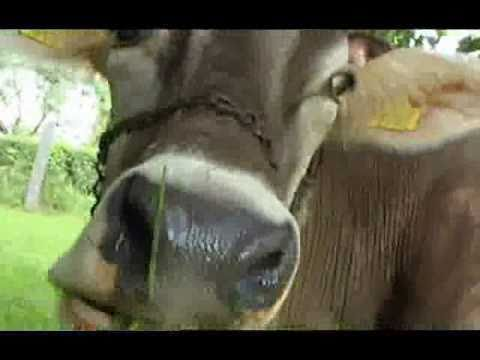 Yodeling Song About A Cow: Die Bless, Mei Kuah - Tyrolean Evening DVD