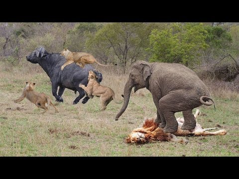 Buffalo vs Lion Pride | Elephant Became Hero After Save Buffalo From Lion Hunt