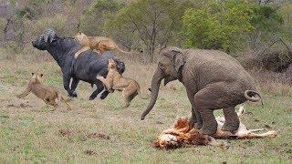 Buffalo vs Lion Pride | Elephant Became Hero After Save Buffalo From Lion Hunt