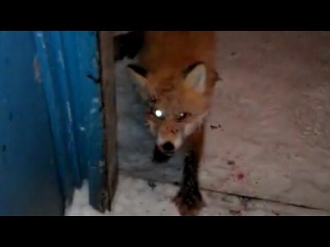 ZOMBIE FOX!