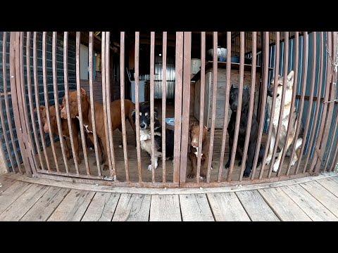 Видео: Небольшой блог с нашей бандой за день! Питбуль/волк/дворняжка/щенки питбуля.