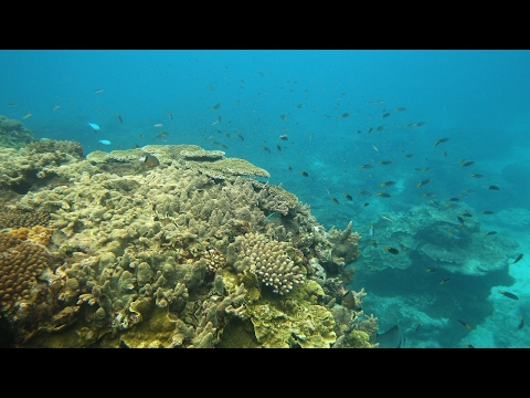Great Barrier Reef suffers coral bleaching event