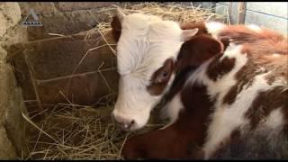 Video Lesson Нормы содержания и лечения крупного рогатого скота в Абхазии