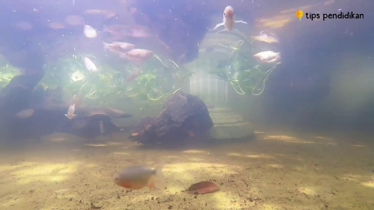 Cara Budidaya Ikan Gurame Agar Cepat Besar dan Cepat Panen ...