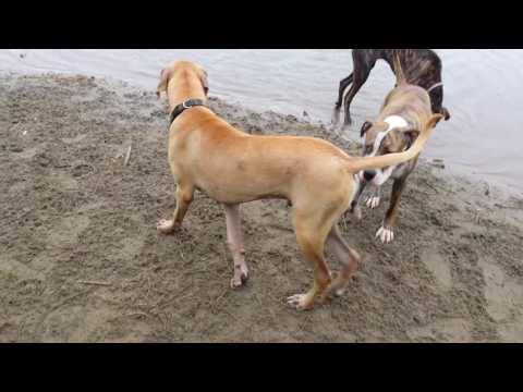 Great Dane Boxer mix: the whole family
