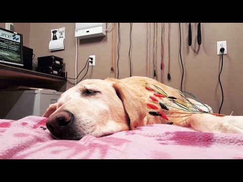 Labrador Retriever Dog Pain Assessment and Chiropractic and Acupuncture Therapy Discussion