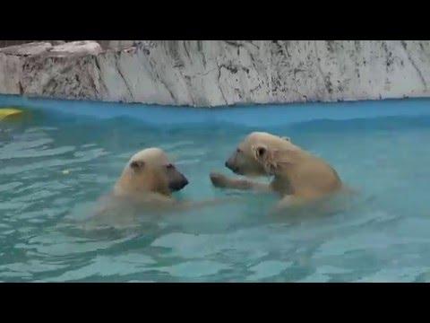 The polar bear twin cubs play in the water(3) at Sapporo Maruyama Zoo, Japan (Jul.6 2013)