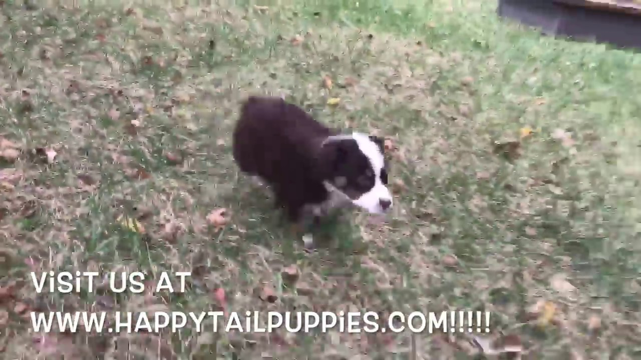 Australian Shepherd Puppies For Sale In Nc Youtube