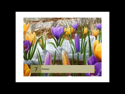 Crocuses: How To Plant, Grow, And Care For Crocus Flowers