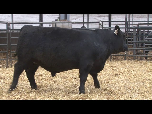 Schiefelbein Angus Farms Lot 180