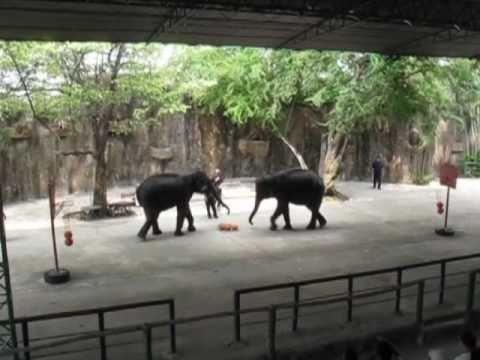 Tiger Zoo Siracha Elephant Show Thailand