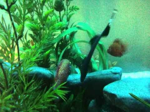 Ghost Knife Fish vs Jewel Cichlid - Battle for Eggs
