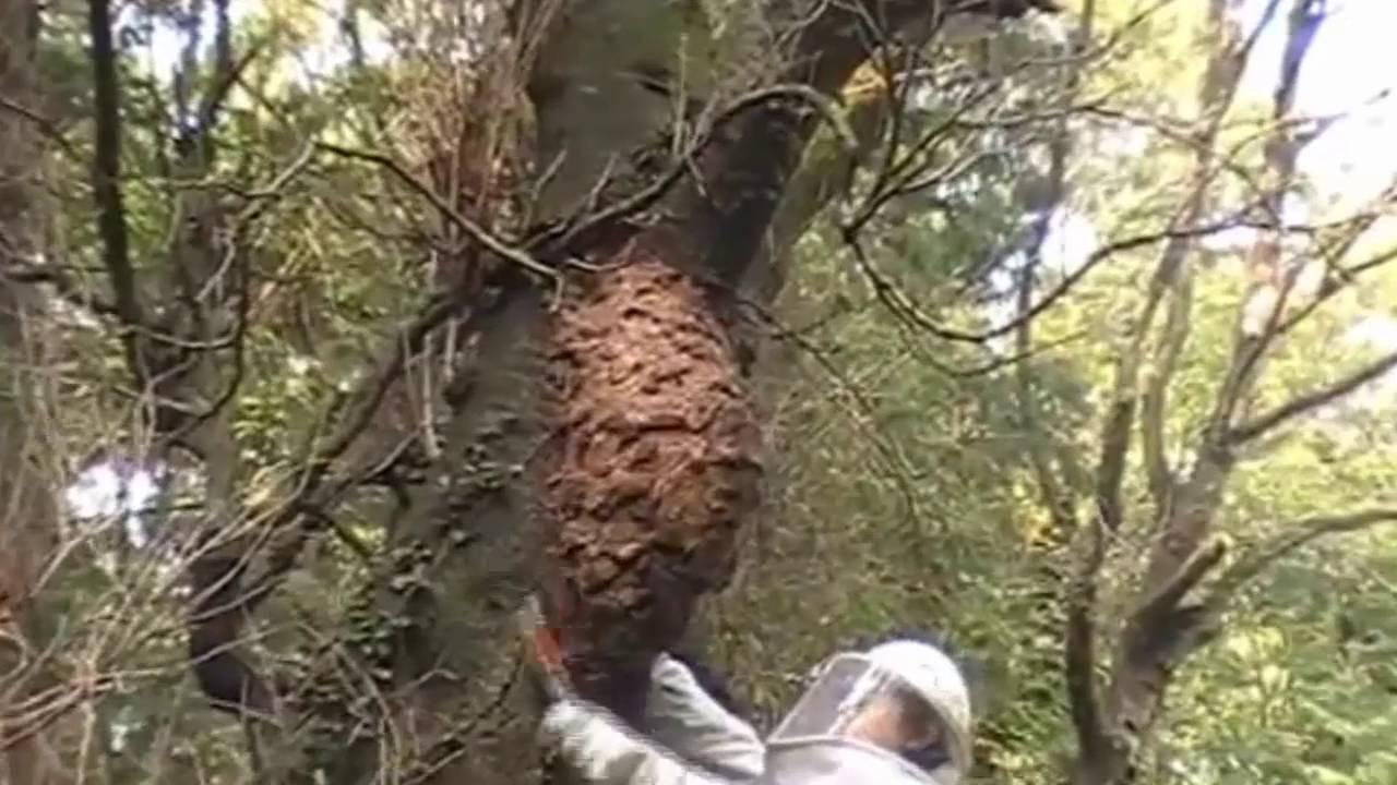 Removing Asian Giant Hornet Nest - Huge Hornet nest - YouTube