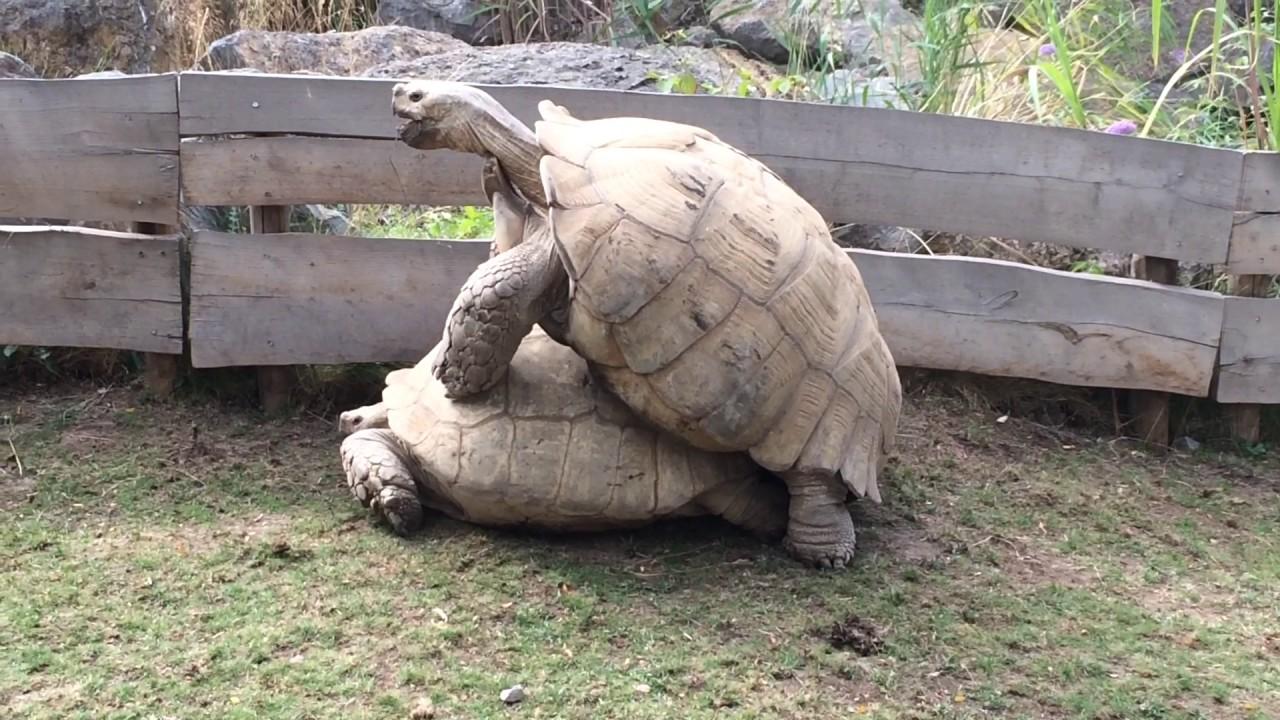 Popularität von Schildkröten haben Sex Kardashian nackte Pornos