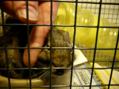 My dying diabetic degu still loves being stroked!!