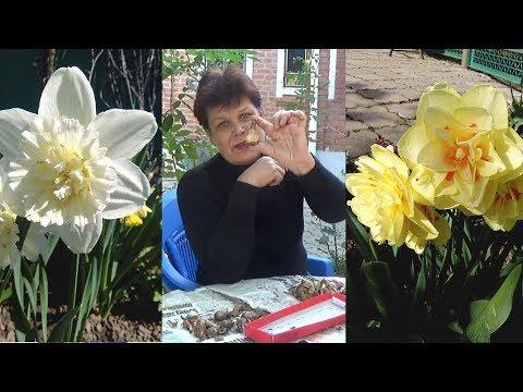 Цветы нарциссы посадка и уход в домашних условиях