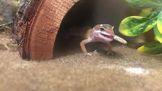 REPTAR, MY LEOPARD GECKO IS A CUTE MONSTER