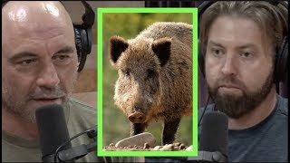 The Ridiculous Expansion of Wild Pigs w/Forrest Galante | Joe Rogan