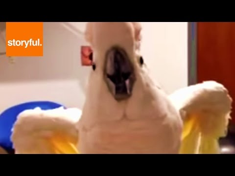 Foul Mouthed Cockatoo Hates Nails Trimmed (Storyful, Wild Animals)