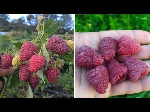 Багато та велика! Ремонтантна малина Джоан Джей (Joan J). Врожай 4 и 2-річних кущів