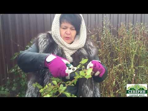 Обрезка канадской розы