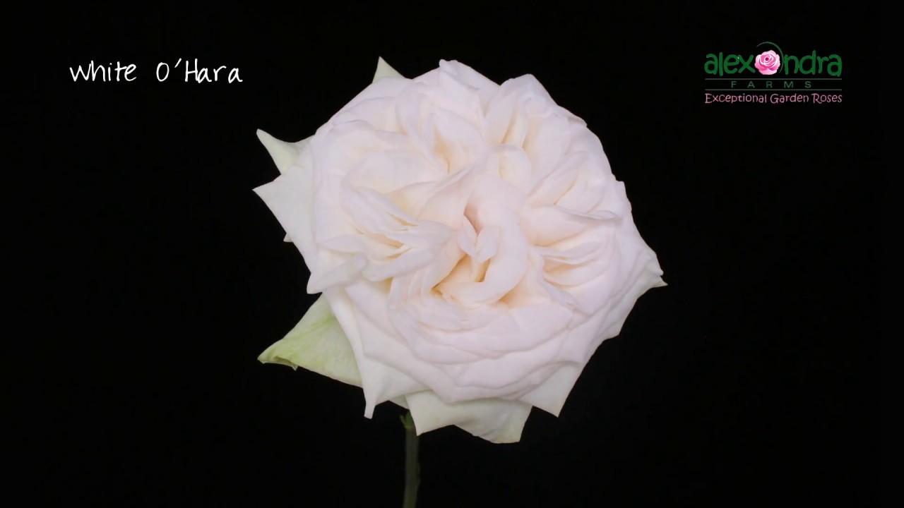 White Ou0027Hara Garden Rose Timelapse