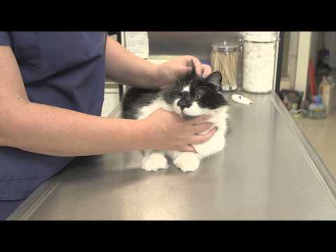 What Are The Side Effects Of Rabies Vaccinations For Cats : General Cat Health