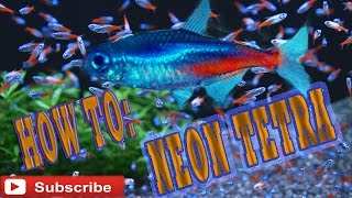 How To: Care Guide: Neon Tetra