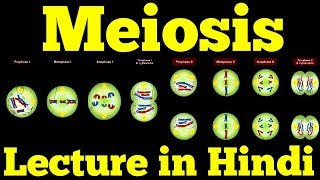 Meiosis - Cell Division (Hindi)