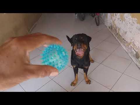 Rottweilers ficam malucos com a bolinha que faz barulho.