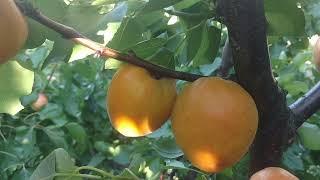 абрикос Голд Рич /apricot Gold Rich/ Сорт - работяга. Отзыв и видео от питомника Макси Сад