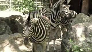 ZEBRY - Зебры - Zoo w Łodzi