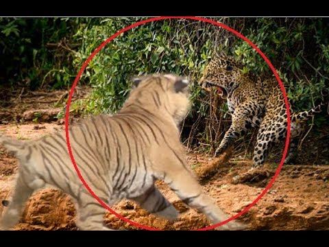 Download Jaguar attacks a tiger!!!