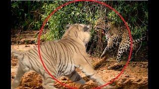 Jaguar attacks a tiger!!!