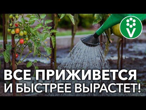 ПОЛЕЙТЕ ЭТИМ РАССАДУ ПОСЛЕ ВЫСАДКИ! Результат вас поразит! | баклажанов | баклажан | томатов | теплице | рассады | рассада | высадка | томат | перца | перец